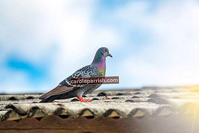 Piccione: che soluzione naturale contro i piccioni